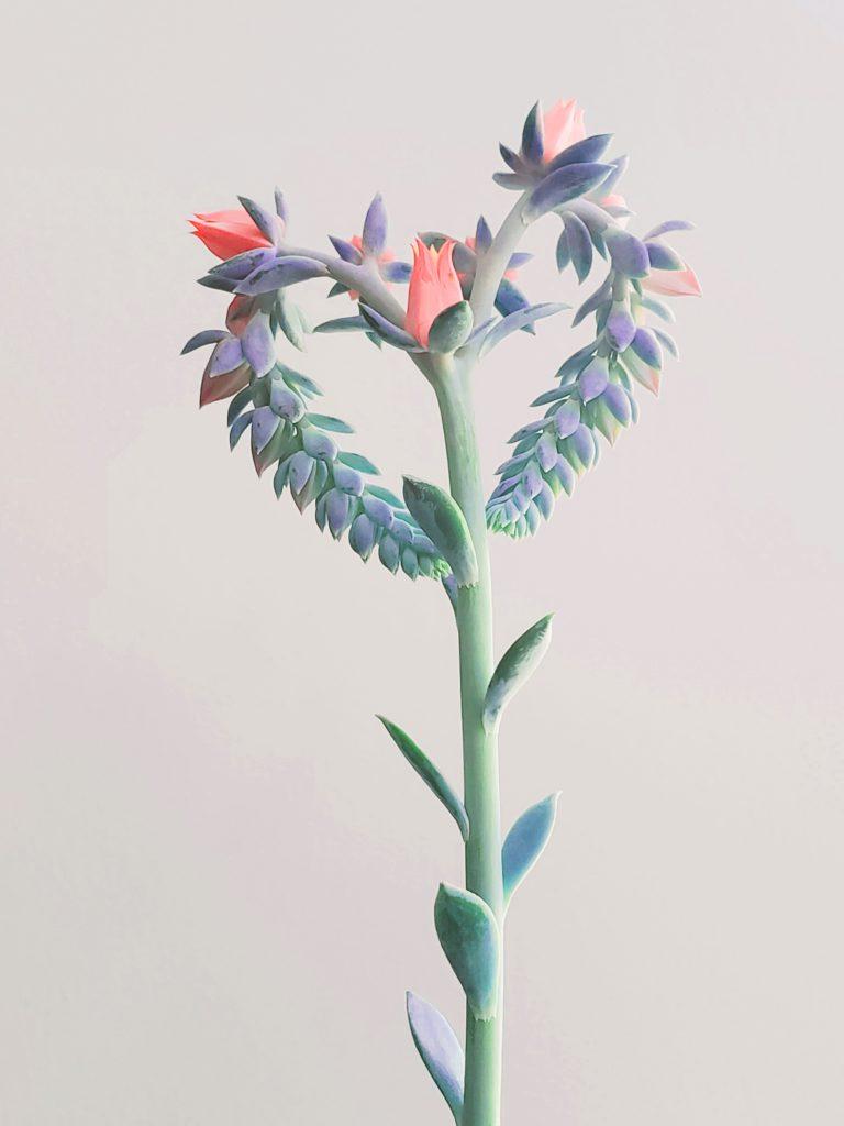 Эхеверия в форме сердца. Красивые домашние цветы