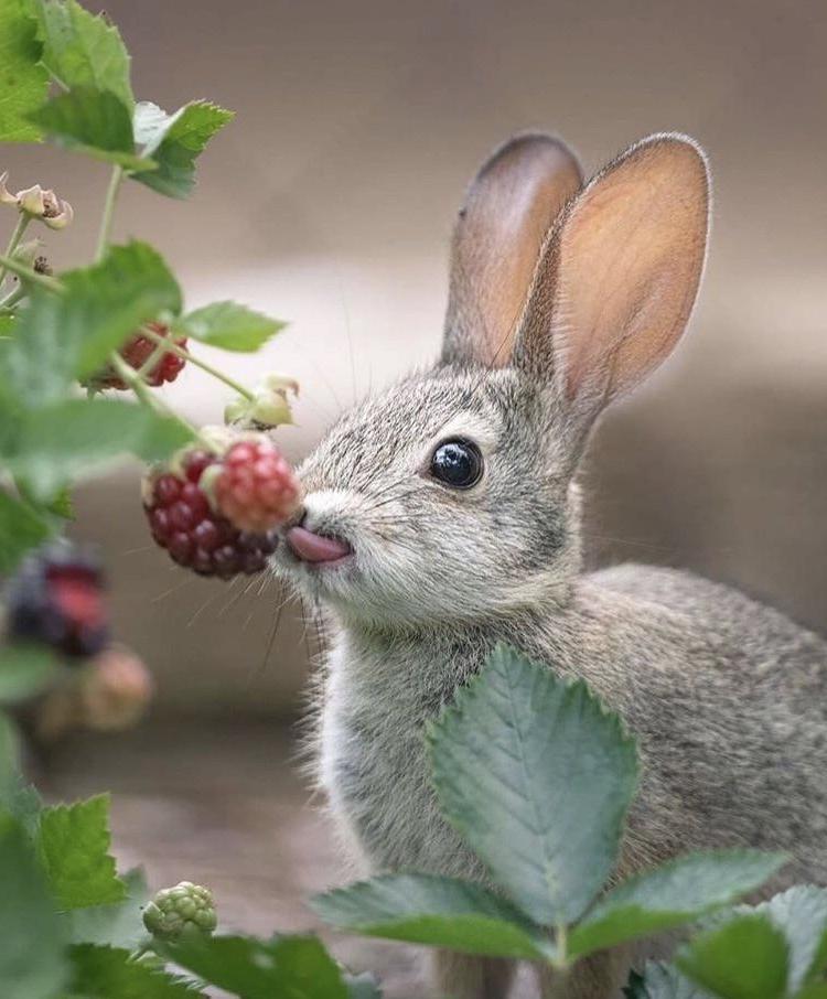 Прекрасный кадр кролика, который есть малину! Ать!
