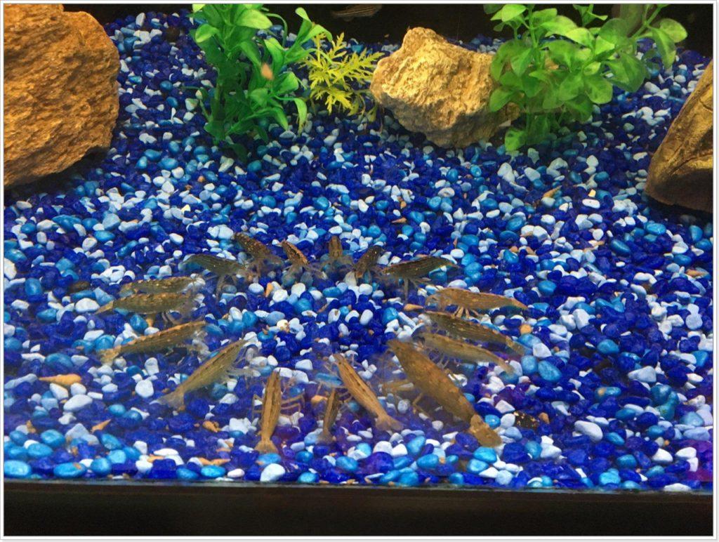 Рачки в аквариуме