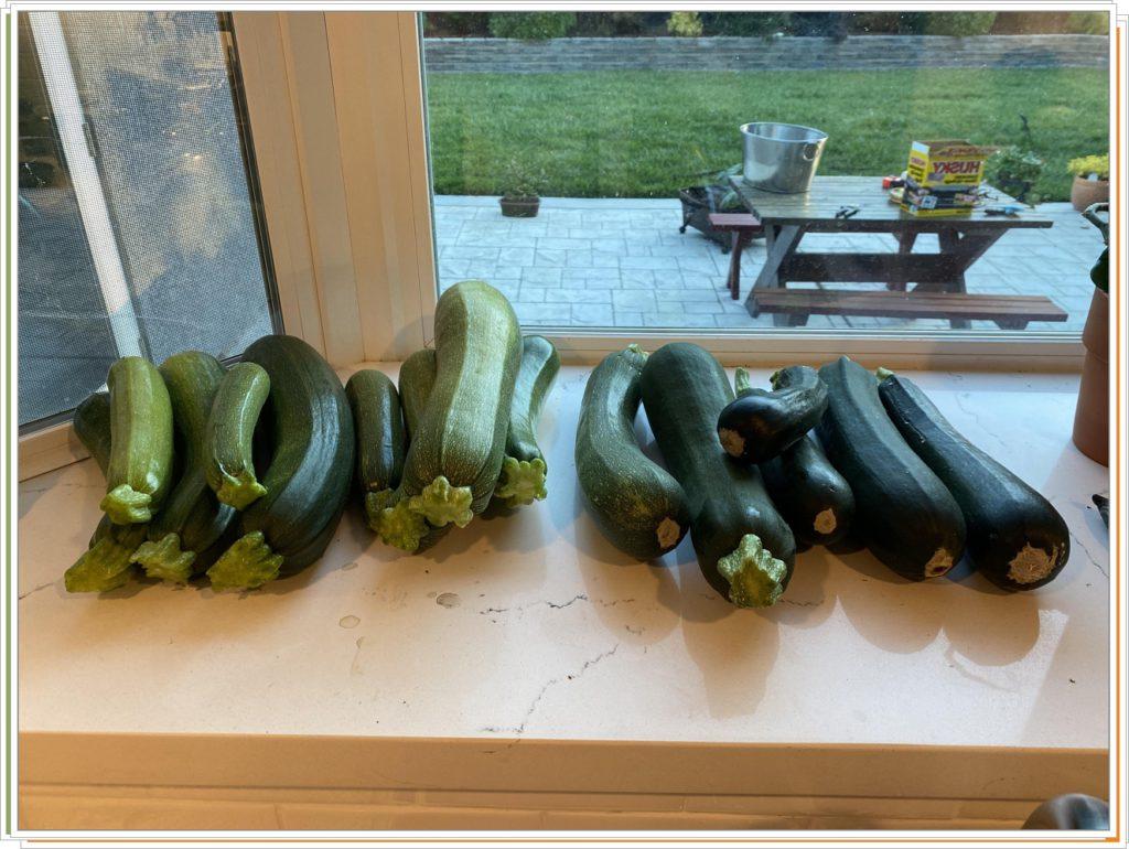 Мой урожай кабачков. Неожиданно много!