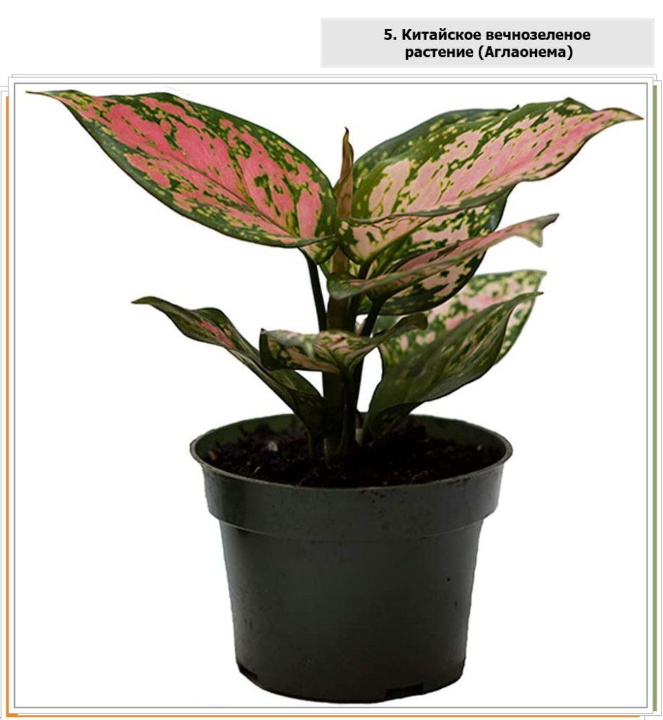 Китайское вечнозеленое растение (Аглаонема)