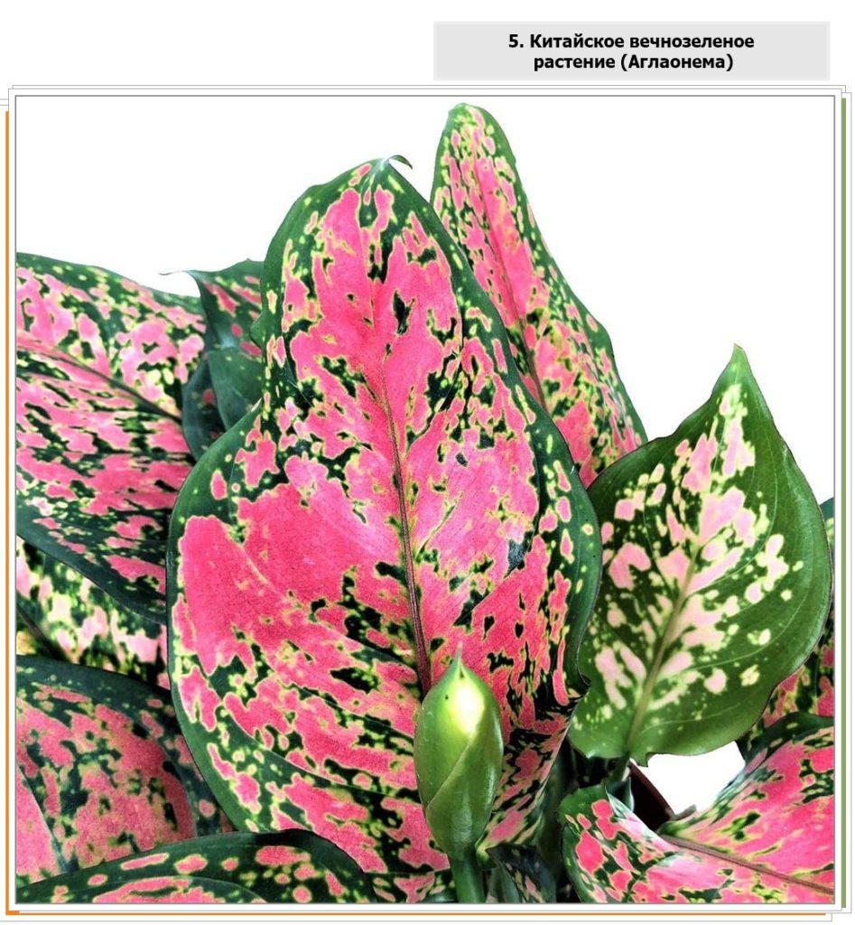 Очень красивый узор на листьях китайского растения