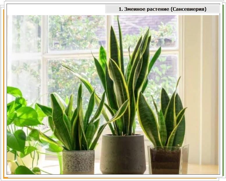Самое популярное офисное растение